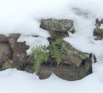 fern-in-snow-web